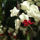 Bleeding Heart Vine - Queens Gardens, Townsville by BreeDanielle