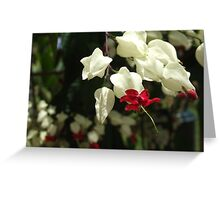 Bleeding Heart Vine - Queens Gardens, Townsville Greeting Card