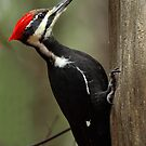 Piliated Woodpecker (female) by Bill McMullen