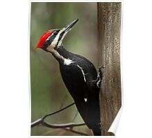 Piliated Woodpecker (female) Poster