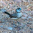 DOUBLE - BARRED FINCH by Raoul Madden