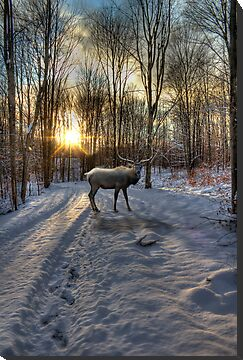 Winter Elk by Megan Noble