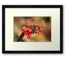 Berries Ready to Drop Framed Print