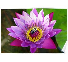 Bumblebee on water lily Poster