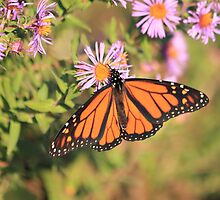 Monarch by NewfieKeith
