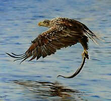 Sea Eagle Painting by Wayne Dowsent