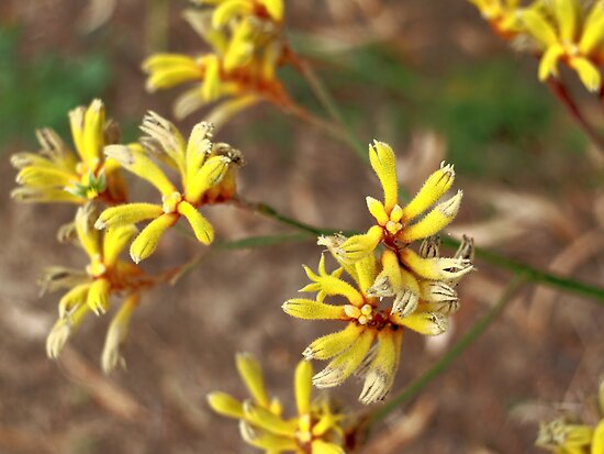 Yellow Kangaroo Paws #2 by Elaine Teague