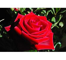 rosa / rose Photographic Print