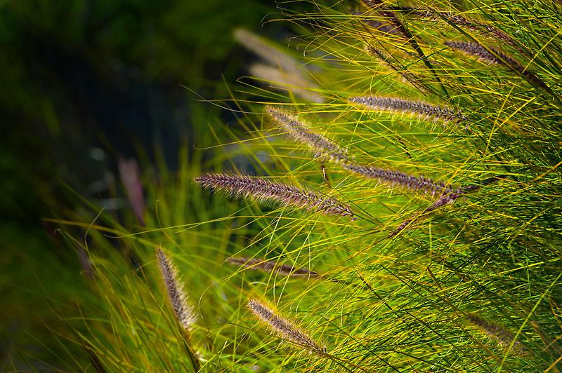 Fountain Grass, Pennisetum alopecuroides, in bloom by Eyal Nahmias