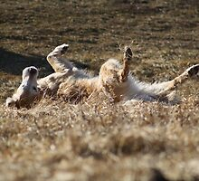 Golden Retriever Rolling in the Grass by Nick Chase