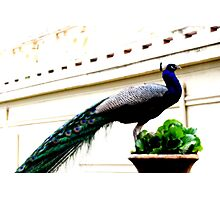 peacock dream Photographic Print