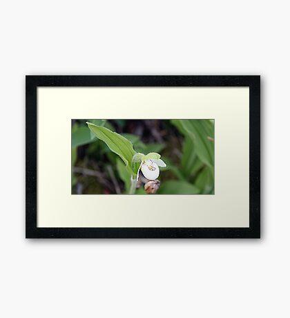 Sparrow's-egg Lady's-slipper - Cypripedium passerinum Framed Print