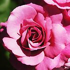 Pink Rose by Paulscho