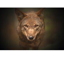 Wolf Stare Photographic Print