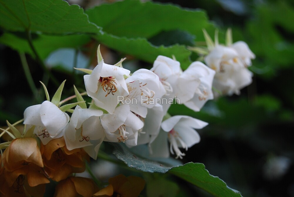 Cluster of Little White Flowers by Ron Hannah
