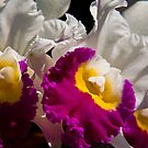 USA. Pennsylvania. Longwood Gardens. Orchids. by vadim19