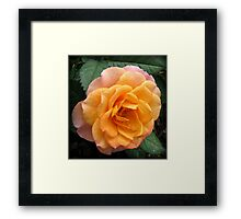 Soft and Gentle Apricot and Pink Rose Framed Print
