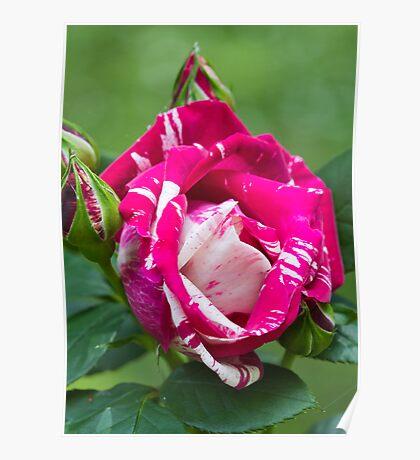 Delbard Henri Matisse rose in bloom ... Poster