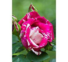 Delbard Henri Matisse rose in bloom ... Photographic Print