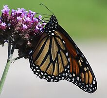 Monarch butterfly sipping by hummingbirds