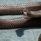 brown snake ! by Trish Threlfall