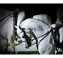 Lipizzaner Stallion Photographic Print