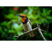 Black Collared Barbet  ... Photographic Print