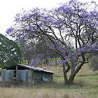 Jacaranda Tree beside a Ruin on Mt Barney by aussiebushstick