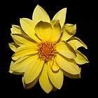 Yellow Dahlia by Steve Purnell