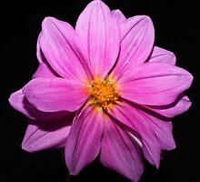 Purple Dahlia by Steve Purnell