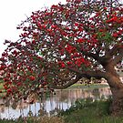 Coral Tree in Bloom by Gloria Abbey