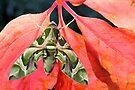 Oleander Hawkmoth by jimmy hoffman