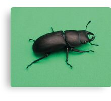 stag beetle 2 Canvas Print