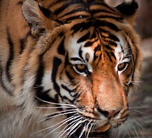 Bengal Tiger by Craig Higson-Smith