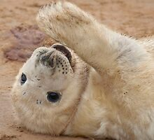 Seal Pup by Peter Towle