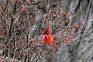 Cardinal On Ice by Carolyn  Fletcher