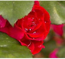 Red Rose with water drops Photographic Print