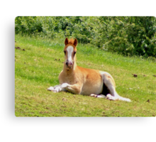 Foal Taking a Rest Canvas Print