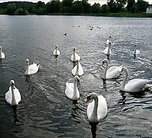 swans by Kate Fortune