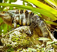 Iguana Be in Pictures-1 by ScaredylionFoto