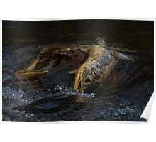 Chum Salmon at Goldstream Provincial Park, Vancouver Island, BC Poster