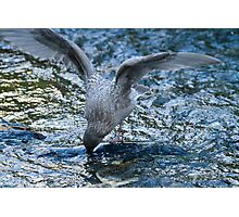 Gull harvesting Chum Salmon Eggs Photographic Print