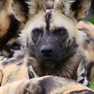 Painted Dog by Brad Francis