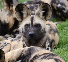 African Painted Dog iPhone case by Brad Francis