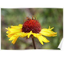Great Blanket Flower Poster