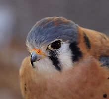American Kestrel by Gregg Williams