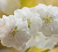 White Blossoms by Susan Brown