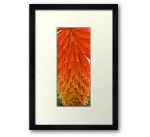 Hot Poker Flower Framed Print