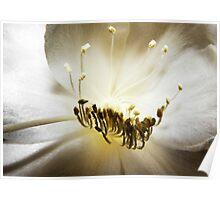 Epiphyllum anguliger macro Poster
