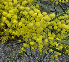 Golden wattle by Daphne Gonzalvez